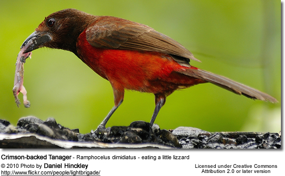 Crimson-backed Tanager - Ramphocelus dimidiatus - eating a little lizzard