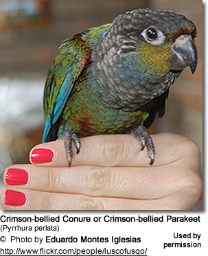 Crimson-bellied Conure or Crimson-bellied Parakeet (Pyrrhura perlata)