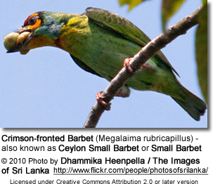 Crimson-fronted Barbet (Megalaima rubricapillus) - also known as Ceylon Small Barbet or Small Barbet