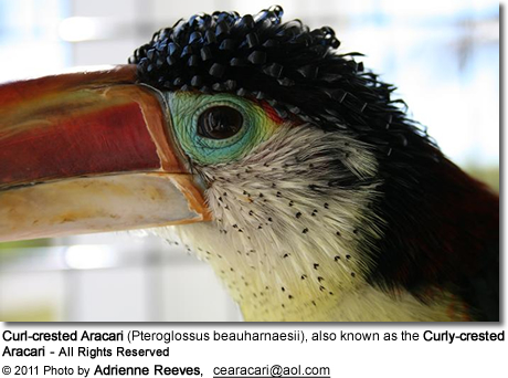 Curl-crested Aracari (Pteroglossus beauharnaesii), also known as the Curly-crested Aracari - All Rights Reserved