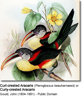 Curl-crested Aracaris (Pteroglossus beauharnaesii) or Curly-crested Aracaris