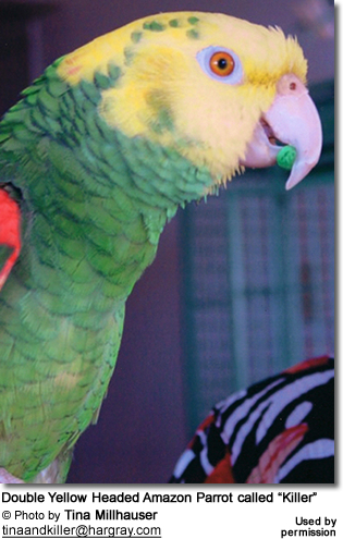 Double Yellow Headed Amazon Parrot called