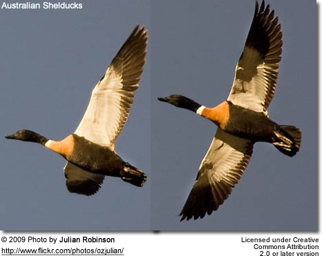 Australian Shelducks in flight