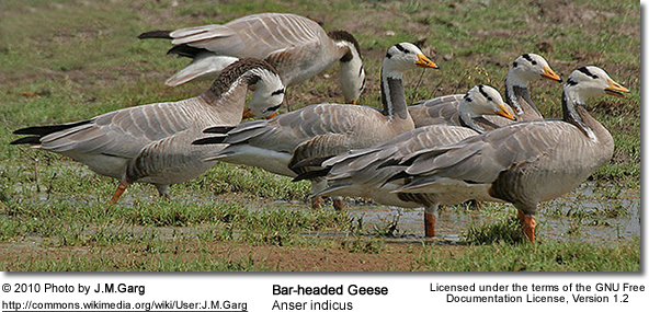 Bar-headed Goose (Anser indicus) at Keoladeo National Park, Bharatpur, Rajasthan, India.