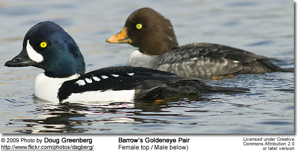 Barrow's Goldeneye Ducks - Female top