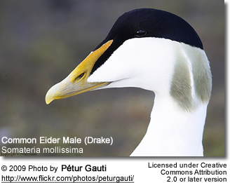 Common Eider Male Facial Details