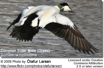 Common Eider Male in flight