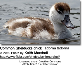 Common Shelducks chick Tadorna tadorna