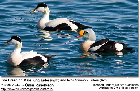 1 Breeding Male and 2 Immature Males