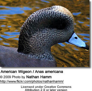 American Wigeon Head Detail from side