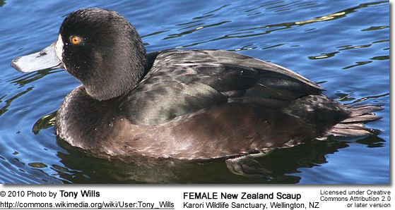 New Zealand Scaup (Aythya novaeseelandiae) commonly known as a Black teal