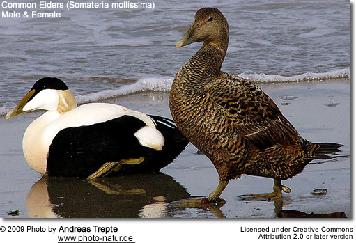 Common Eider Couple