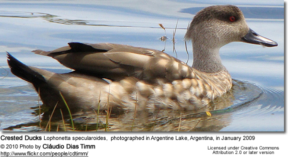 Crested Ducks Lophonetta specularoides, photographed in Argentine Lake, Argentina, in January 2009