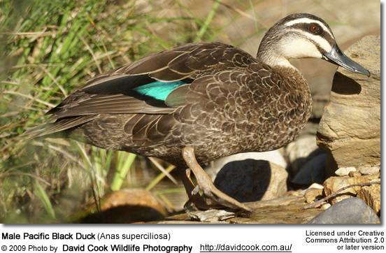 Male Pacific Black Duck