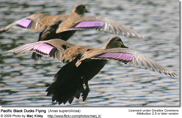 Flying Pacific Black Ducks