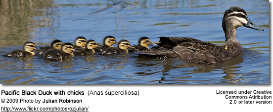 Pacific Black Ducks with chicks
