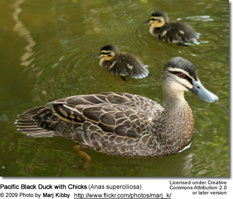 Pacific Black Duck with chicks