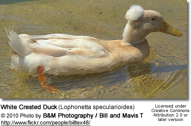 White Crested Duck (Lophonetta specularioides)