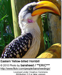 Eastern Yellow-billed Hornbill (Tockus flavirostris)