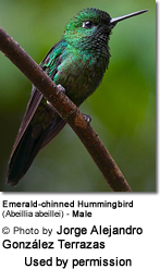 Emerald-chinned Hummingbird