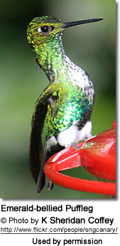 Emerald-bellied Puffleg