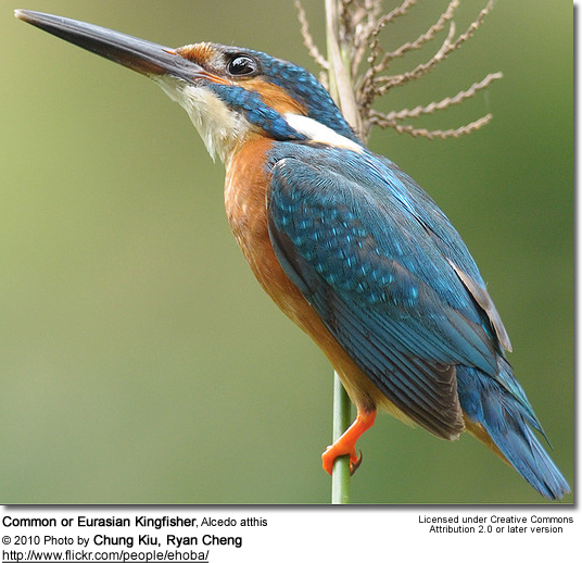 Common or Eurasian Kingfisher, Alcedo atthis