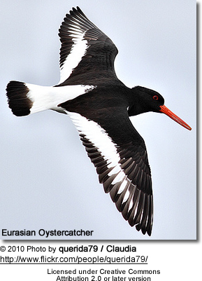 Eurasian Oystercatcher Haematopus ostralegus, also known as the Common Pied Oystercatcher