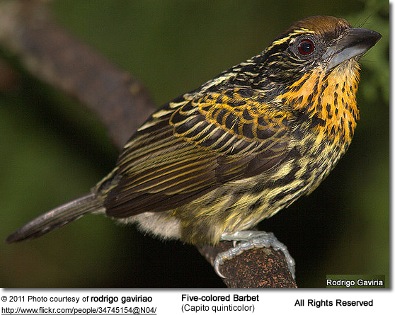 Five-colored Barbets (Capito quinticolor) - Female