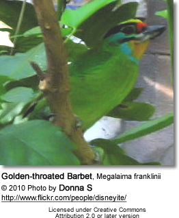Golden-throated Barbet, Megalaima franklinii