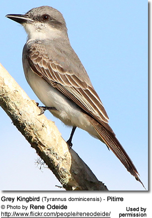 Gray or Grey Kingbird, also known as Pitirre, Tyrannus dominicensis
