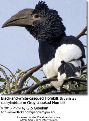 Black-and-white-casqued Hornbill, Bycanistes subcylindricus or Grey-cheeked Hornbill