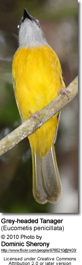 Grey-headed Tanager (Eucometis penicillata)