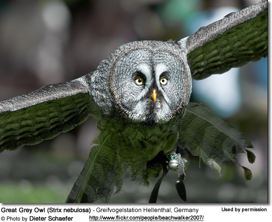 Great Grey Owl (Strix nebulosa) - Greifvogelstation Hellenthal, Germany