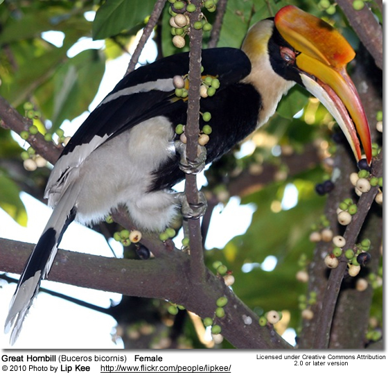Great Hornbill (Buceros bicornis) also known as Great Indian Hornbill or Great Pied Hornbill - Female