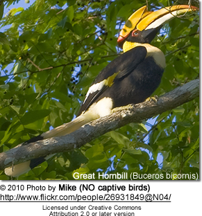 Great Hornbill (Buceros bicornis) also known as Great Indian Hornbill orGreat Pied Hornbill