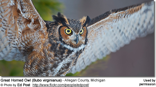 Great Horned Owl (Bubo virginianus) - Allegan County, Michigan
