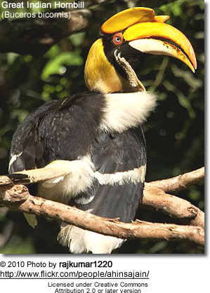 Great Hornbill (Buceros bicornis) also known as Great Indian Hornbill or Great Pied Hornbill
