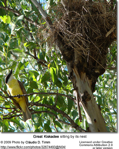 Great Kiskadee sitting by its nest