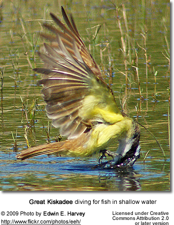 Great Kiskadee diving for fish