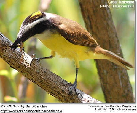 Great Kiskadee feeding