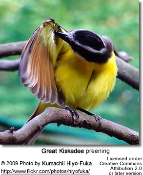 Great Kiskadee preening