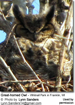 Great-horned Owl - Whitnall Park in Franklin, WI