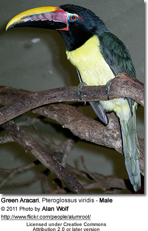Male Green Aracari - note the black head
