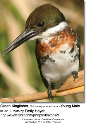 Green Kingfisher, Chloroceryle americana - Young Male