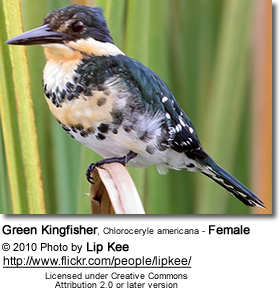 Green Kingfisher, Chloroceryle americana - Female