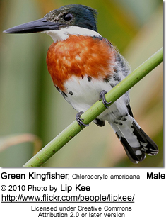 Green Kingfisher, Chloroceryle americana - Male
