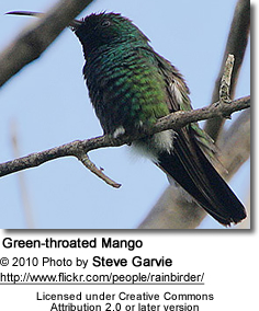 Greenthroated Mango