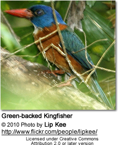 Green-backed Kingfisher (Actenoides monachus)