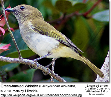 Green-backed Whistler (Pachycephala albiven