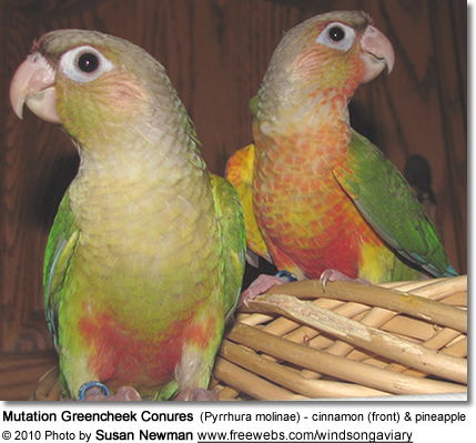 Mutation Greencheek Conures (Pyrrhura molinae) - cinnamon (front) and pineapple